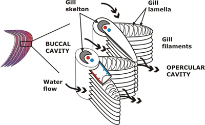 Gross anatomy for Arches related to breathing gills in fish